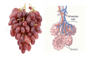 Грозде – бял дроб
